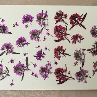 アリッサム 押し花(ピンク・赤・紫)花材(ドライフラワー)