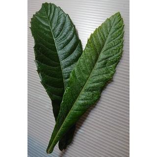 ビワの葉 (無農薬) 100 g(フルーツ)