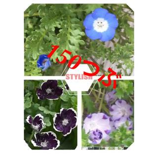レナ様用 ネモフィラ種 3種類 計150粒 ブルー 、マクラータ、ペニーブラック(プランター)