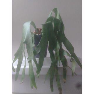 ビカクシダ 観葉植物(置物)