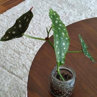 ベゴニア マクラータ 22 観葉植物(その他)
