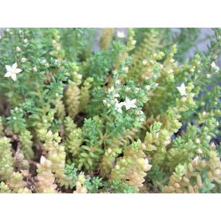 ミルキーウェイ カット芽 オマケ付き 紅葉する多肉植物 セダム(その他)