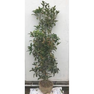 《現品》キンモクセイ 樹高1.5m(根鉢含まず)48《金木犀/きんもくせい/苗木(その他)