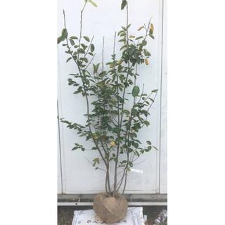《現品》ジューンベリー 株立ち 樹高1.6m(根鉢含まず)26【果樹苗木/植木】(その他)