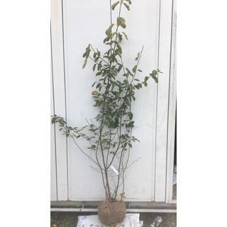 《現品》ジューンベリー 株立ち 樹高1.7m(根鉢含まず)29【果樹苗木/植木】(その他)