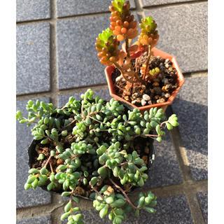 多肉植物 パープルヘイズ&レッドベリー(その他)