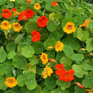 室内で可愛いお花を❣️ナスタチウム 金蓮花の種24粒 プランター植えガイド付き☆(プランター)