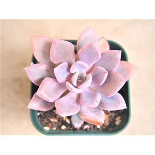 デビー カット苗 オマケ付き 紅葉する多肉植物 ピンク 紫 パープルクイーン(その他)