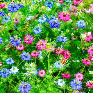 【華麗なる自然の宝石!】ニゲラ☆クロタネソウ 種 カラフルミックス300粒超!