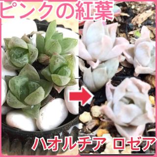 ピンクの紅葉⭐️ハオルチア ロゼア 4苗 H.rosea N1 多肉植物 苗