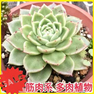 大苗 筋肉系多肉 多肉植物 苗  シテリナ グラプトベリア属 観葉植物(プランター)