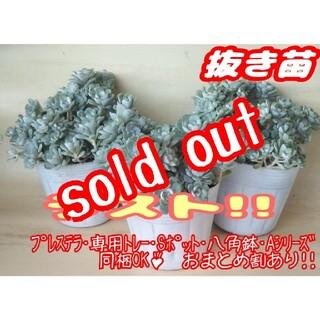 完売!!【抜き苗】ケープブランコ (白雪ミセバヤ) 多肉植物 セダム プレステラ(その他)