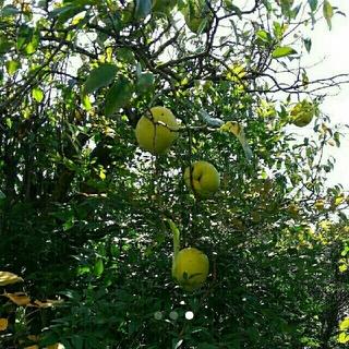 無農薬 花梨(かりん) サイズ不揃い 30個(フルーツ)