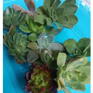 【最終値下げ!】多肉植物カット苗9種*大きめセット(その他)
