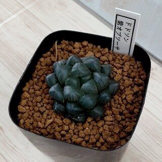 多肉植物 ハオルチア 紫オブツーサ(その他)