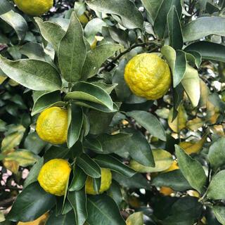無農薬 国産 柚子 黄色 黄緑色 20個入(フルーツ)