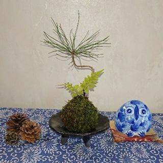 松とシダの苔玉