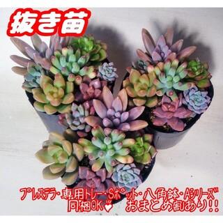 【抜き苗】多肉植物 カラフル寄せ植え♪ セダム 紅葉 プレステラ(その他)