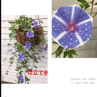 ●  即買いOK 「ハンキング朝顔」種 10粒 恋しぐれバイオレットブルー(プランター)