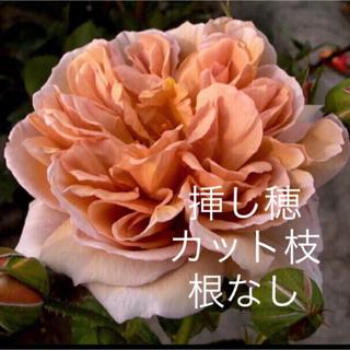 お取り置き四季咲♡二年生バラ苗 ♡カフェ♡アンティークなお庭♡フロリバンダローズ(その他)