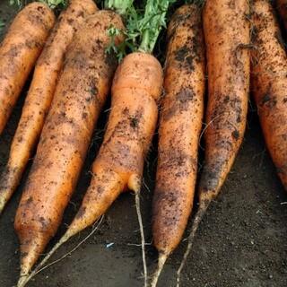 千葉県産泥付き人参5kg(野菜)