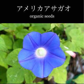 ◆アメリカアサガオ◆強健で可愛いブルーの朝顔【オーガニック種子 20粒】(その他)