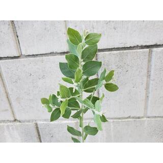 パールアカシア72 ポット苗 シルバーグリーンリーフ観葉植物 シンボルツリーに♪(プランター)