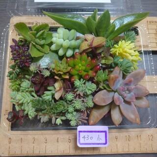 多肉植物 カット苗 430 小(その他)
