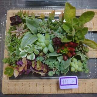 多肉植物 カット苗 小 431(その他)