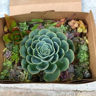 多肉植物✩.*˚大きな七福神の寄せ植えセット(その他)