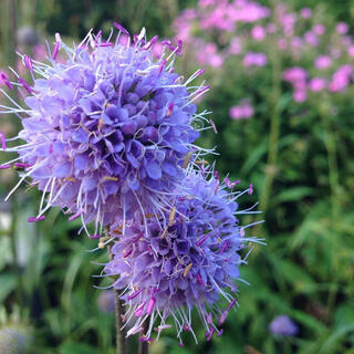 サクシサプラテンシス 花の種(その他)