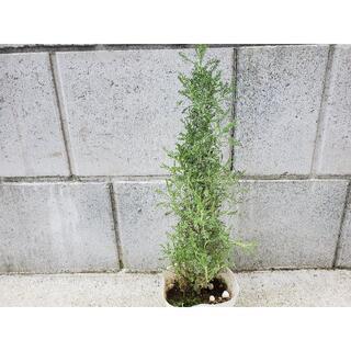 サントリナグレー ハーブポット苗 観葉植物 Xmas寄せ植え クリスマスツリー (プランター)