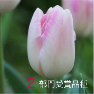 12/1まで チューリップ シンフォニー 特選球根 2球(その他)