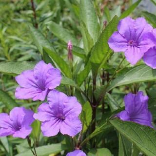 紫の花☆ルエリアの種(その他)