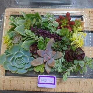 多肉植物 カット苗 小 428(その他)