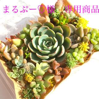 まるぷー♡様 専用商品 多肉植物 七福神メイン セット(その他)
