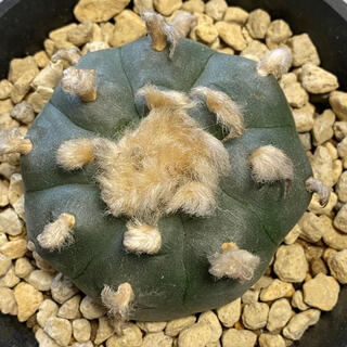 多肉植物 サボテン ロホホラ 烏羽玉 カキコ(その他)