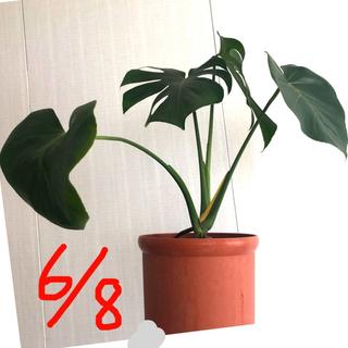 モンステラ ④ 太い節、根しっかりしています。 苗 観葉植物(その他)