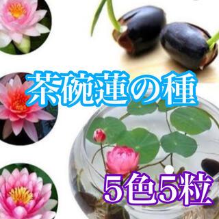 茶碗ミニ蓮の種5色5粒(その他)