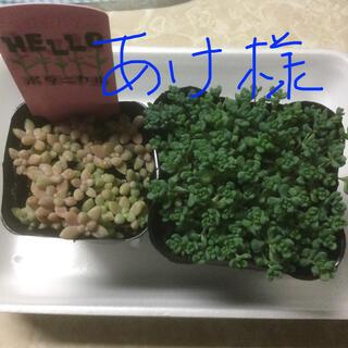 多肉植物 姫シュウレイとパープルヘイズ(その他)