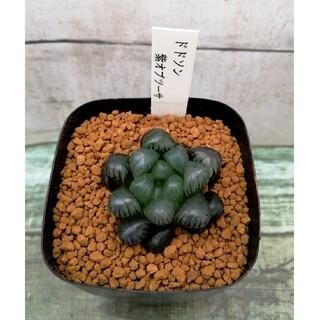 多肉植物 ハオルチア ドドソン 紫オブツーサ(その他)