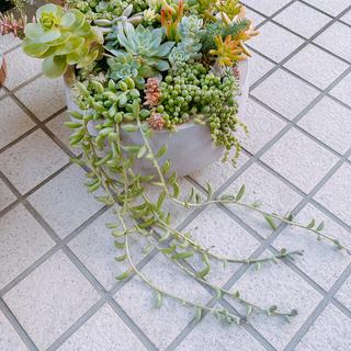 アーモンドネックレス セネシオ属 抜き苗 多肉植物(その他)