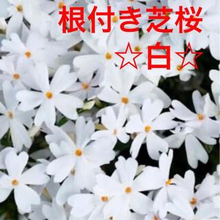 ☆来春に増えて咲く❣️根付き苗☆芝桜☆白☆初心者向け☆(プランター)