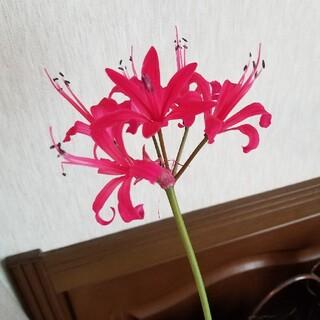 ☆☆臨時出品☆☆ネリネ 球根 濃いピンク(その他)