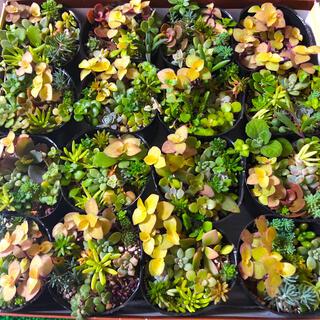 多肉植物☆ポットごと‼︎ミニ寄せ植え16個セット(その他)