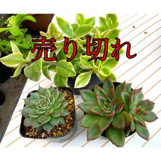多肉植物 得得3種セットB❣️おまけガリシアロザートその他❣️(その他)