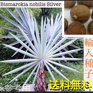 ★播種555★ビスマルキア ノビリス 種子1粒★希少極美ヤシ★(その他)