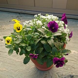 春の小さなお花の寄せ植え 紫・黄色(その他)