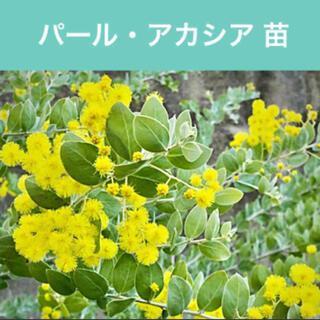 真珠色に輝くふわふわの丸い葉◆パールアカシア 【1苗】PA2(その他)