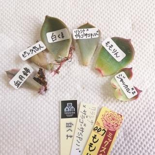 ★葉挿し6品種★多肉植物★ (その他)